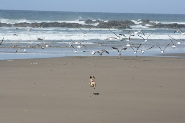 Lucy flying after seagulls on her beach.