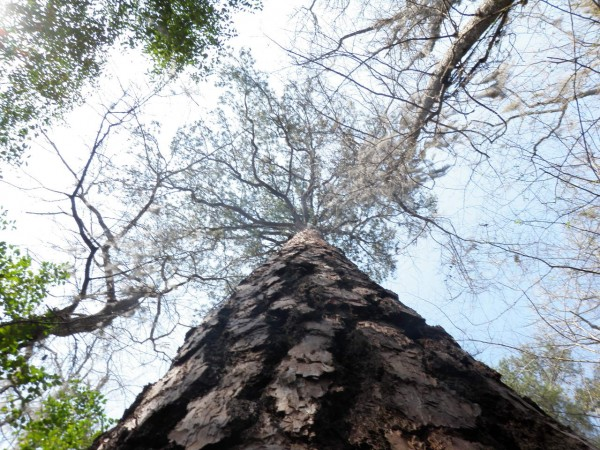 National record Loblolly Pine: Congaree National Park, SC