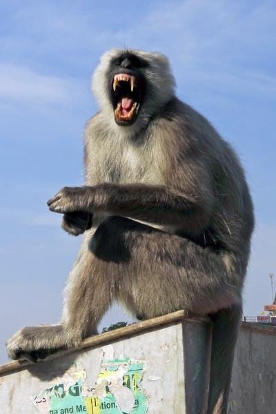 Languor Monkey In India