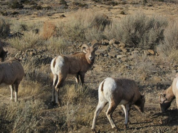 Bighorn sheep on the road.