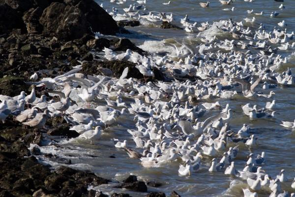 Gulls feasting on Herring eggs, Pt. Richmond, CA February 2012