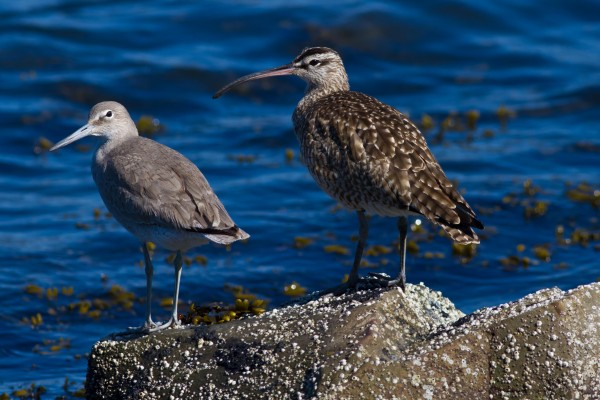 Willete and Whimbrel
