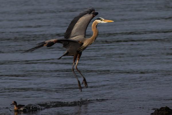 Great Blue Heron surprising an American Wigeon