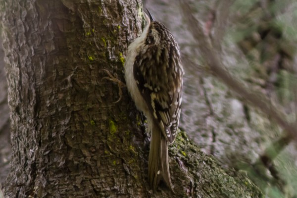 Brown Creeper, a nice bird for #100