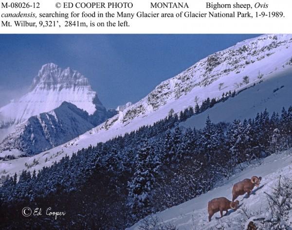 Mt.Wilbur,mt.sheep, MT