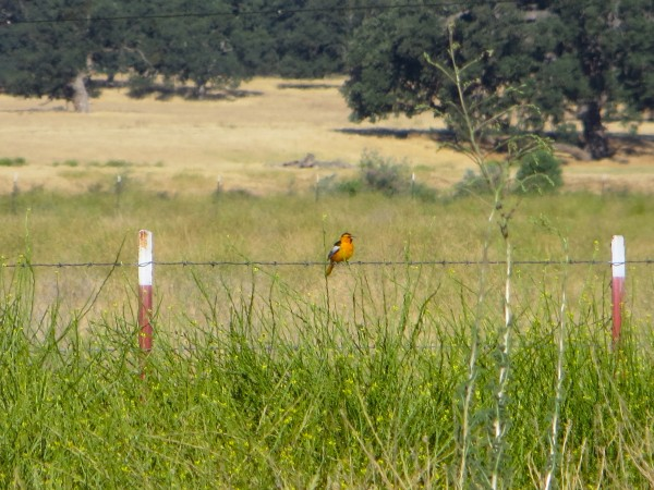 Hwy 166 and a Bullocks Oriole.