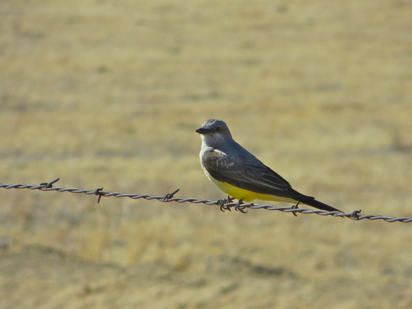 Coby's favorite, Western Kingbird.