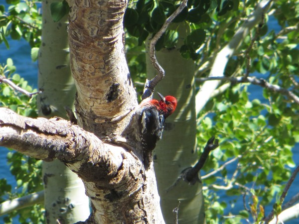 Red-breasted Sapsucker, Grant Lake.