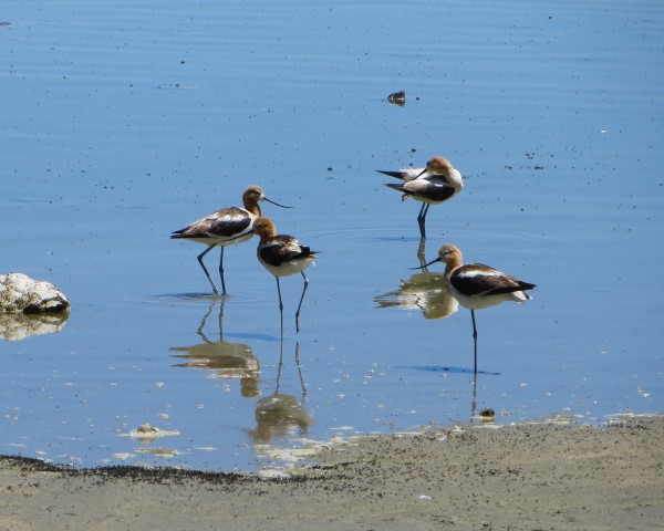 American Avocets at Mono Lake.