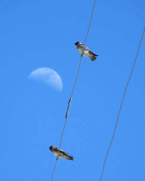 Cliff swallows at Bodie.