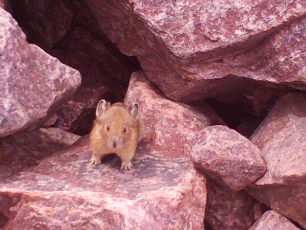 Pika standing guard allowing only visitors offering a few peanuts as c...