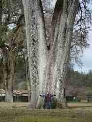 The Henley oak in Covelo.