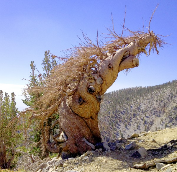 Medusa Tree - East side of San Gorgonio