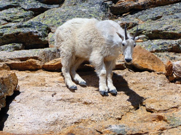 The North Cascades Mountain Goat, AKA the Mazama