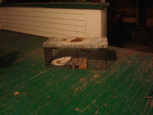trap set for feral kitties (block of wood to make trigger one way ...