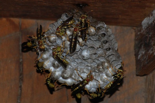 Polistes wasps with green caterpillar ball (chewing)