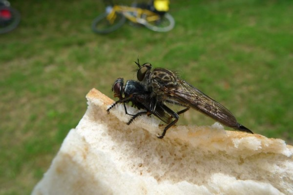 Robber fly consuming house fly, on MY lunch!