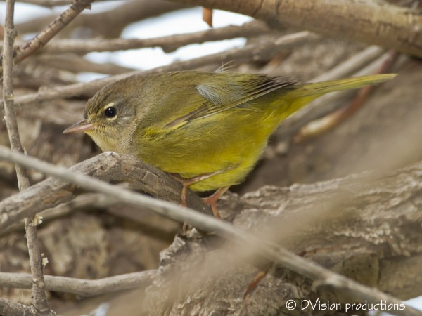 McGilvary's warbler - a new one for us