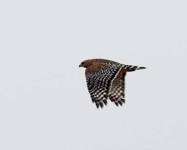 Pretty easy to see why it is called a red-shouldered hawk