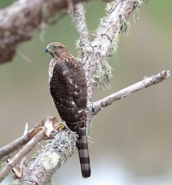 Cooper's Hawk from this morning