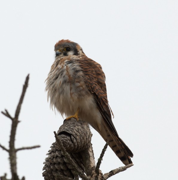 And a kestrel