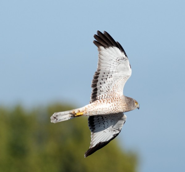 almost a great shot of a Northern Harrier