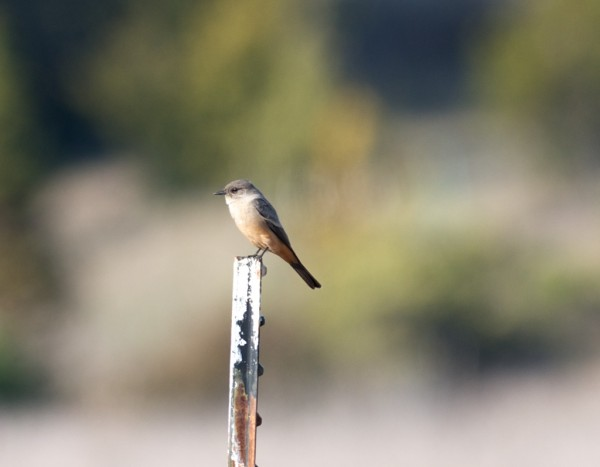 We are overrun with Black Phoebes, but this is the first Say's Phoebe ...