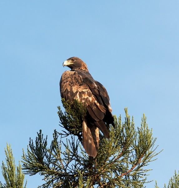This was cool - a pair of Golden Eagles