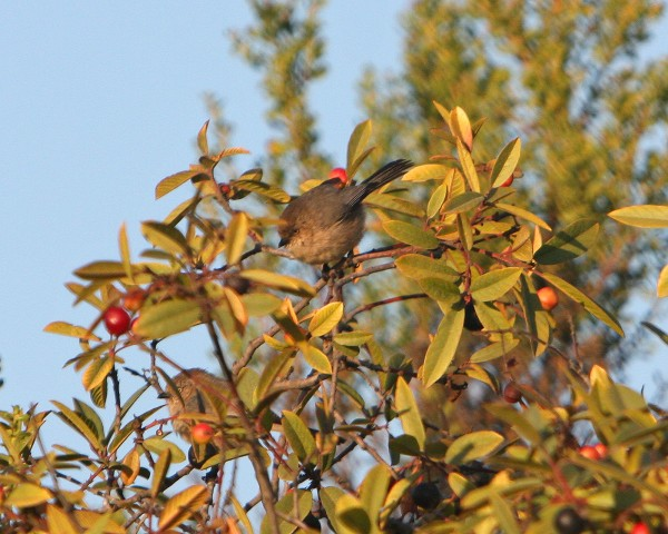 Bushtit (golf-ball bird)- bigger pic shows yellow eye!!!