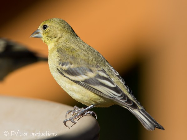 Lesser Goldfinch - not sure how much longer they will be around