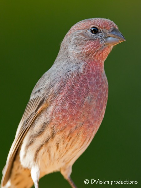 Male House Finch - common for sure, but still a good lookin fella
