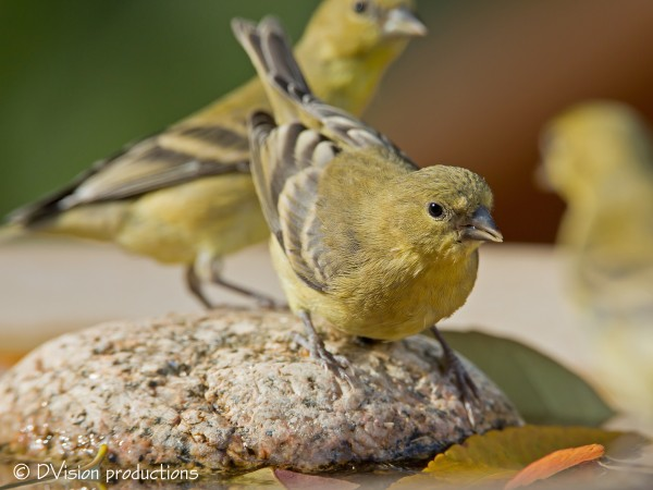 Lesser Goldfinches diggin the bird bath