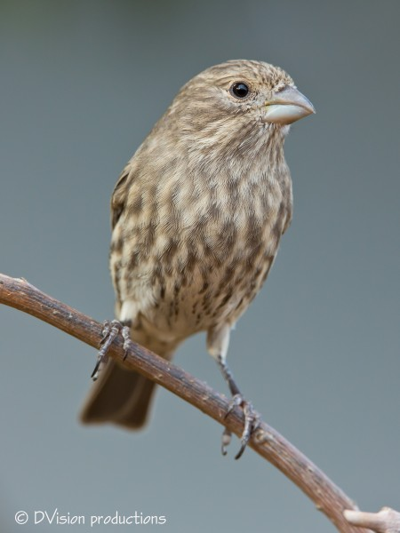 Your basic female House Finch out on a limb...
