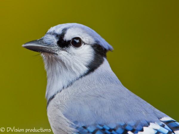 Blue Jay taken by CG