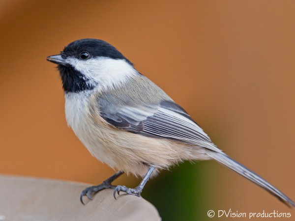 Chickadee taken by CG
