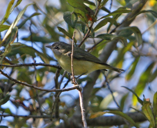 Philly Vireo. Not very common where I'm from.