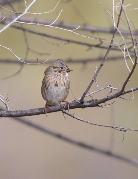 Lincoln's sparrow.