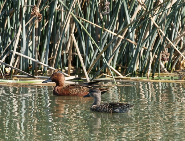 Cinnamon Teal