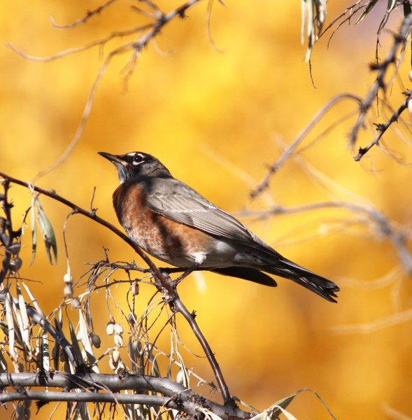 American Robin with a golden cottonwood in the background.