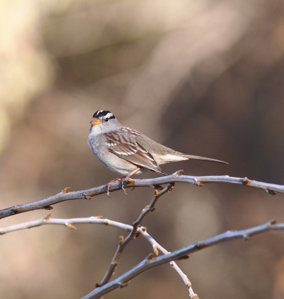 White crowned sparrow...one of the better shots of got these little bi...