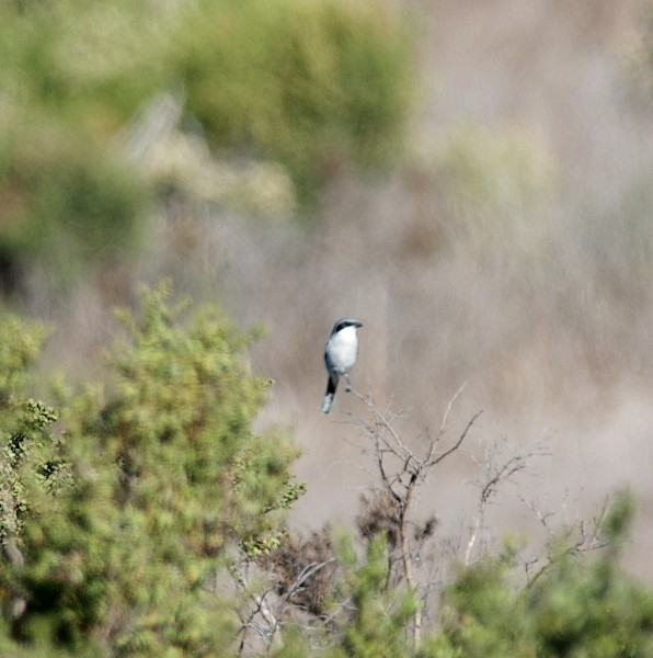 Bad photo of a Loggerhead Shrike