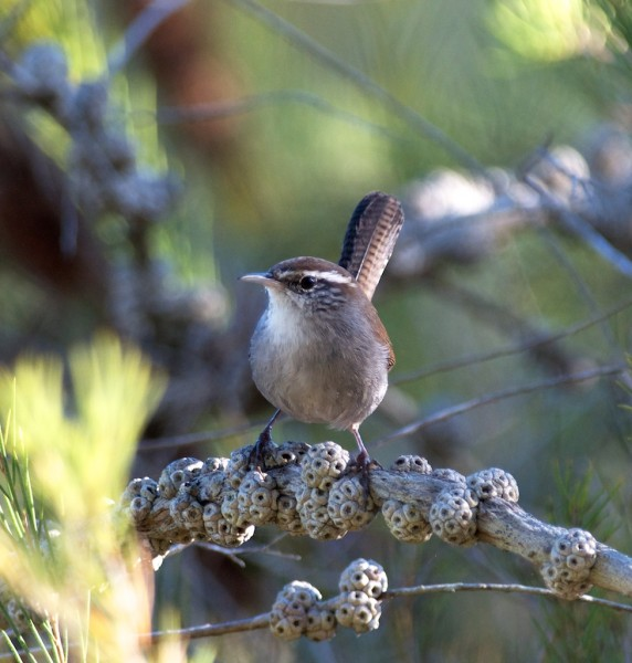 Finally, a decent shot of a Bewick's Wren