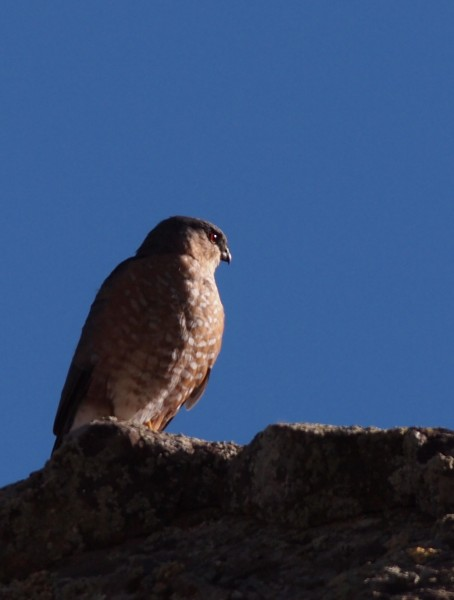 Not so good shot of a Cooper's Hawk along the Rio Grande.