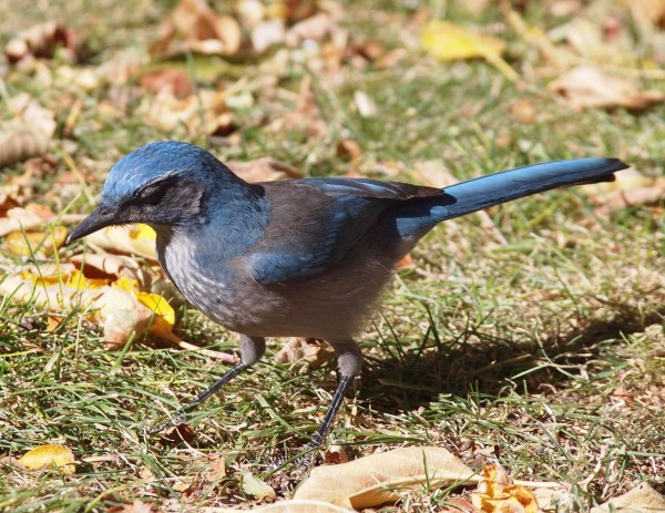 Very active Western Scrub Jay...beautiful colors.