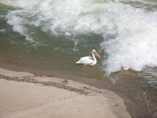 Pelican on the Saskatchewan River