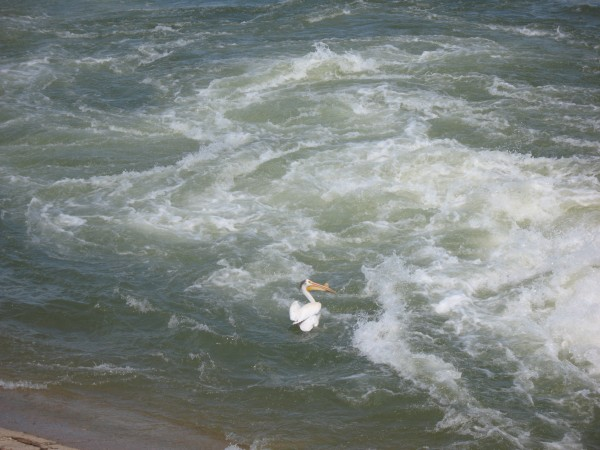 Pelican in the Saskatchewan River