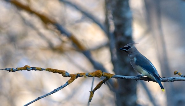 cedar waxwing from this afternoon (click for larger)