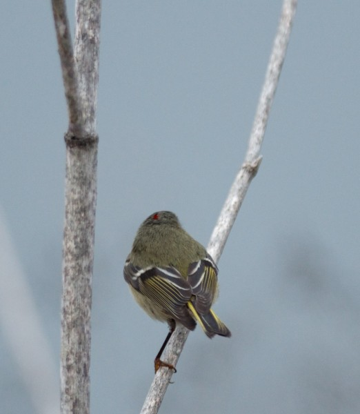 Ruby-crowned Kinglet with a flash of its ruby crown (might have to cli...