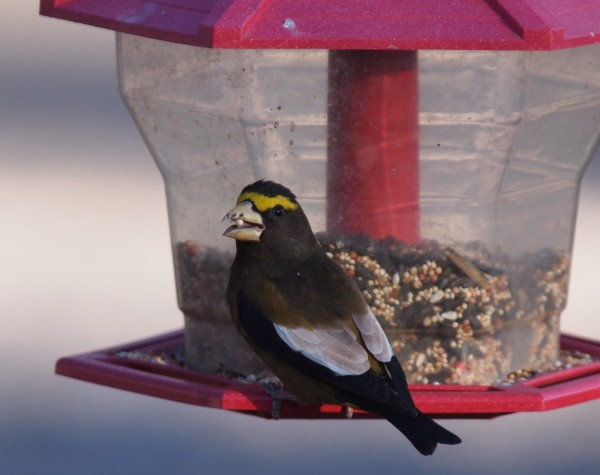 Happy Evening Grosbeak
