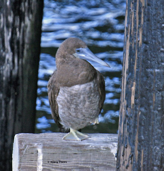 Young brown booby gone astray in Santa Cruz, Ca in 2007, when I took t...
